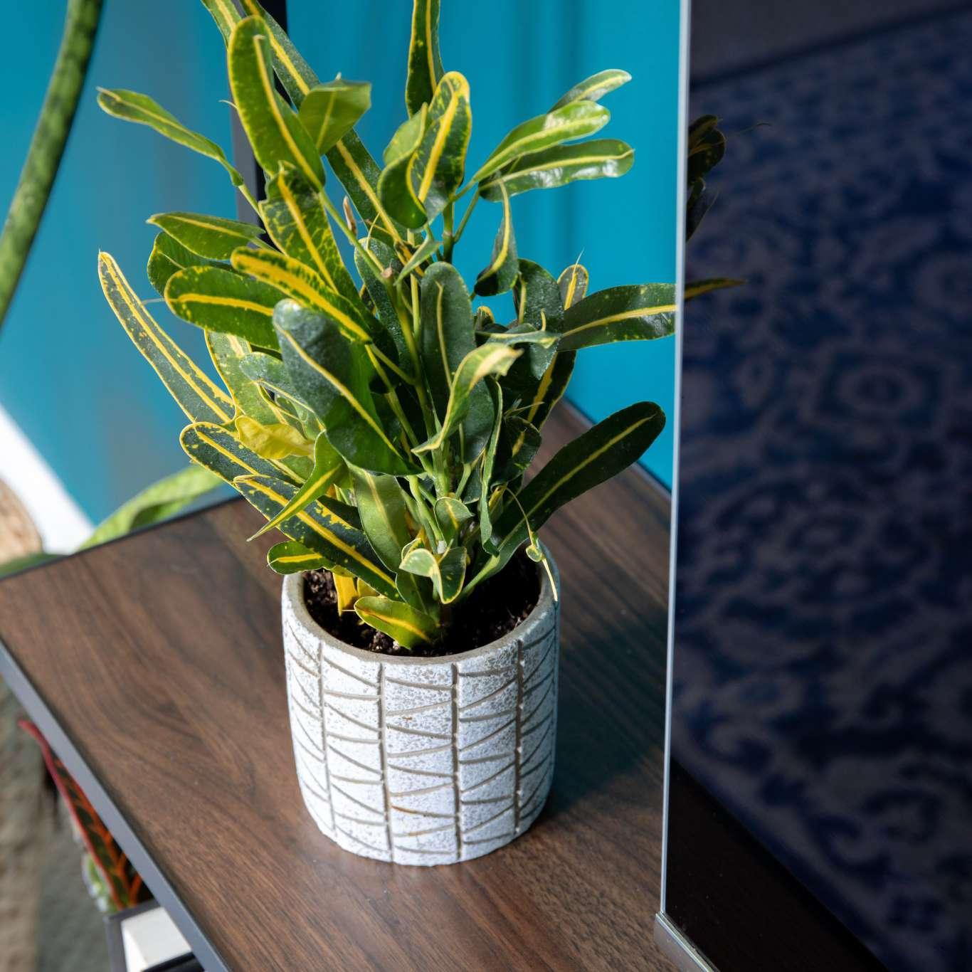 best window plants: croton
