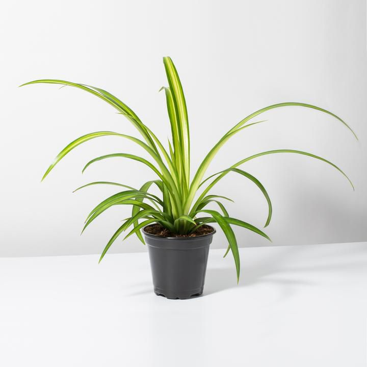 Spider plant in black grower's pot