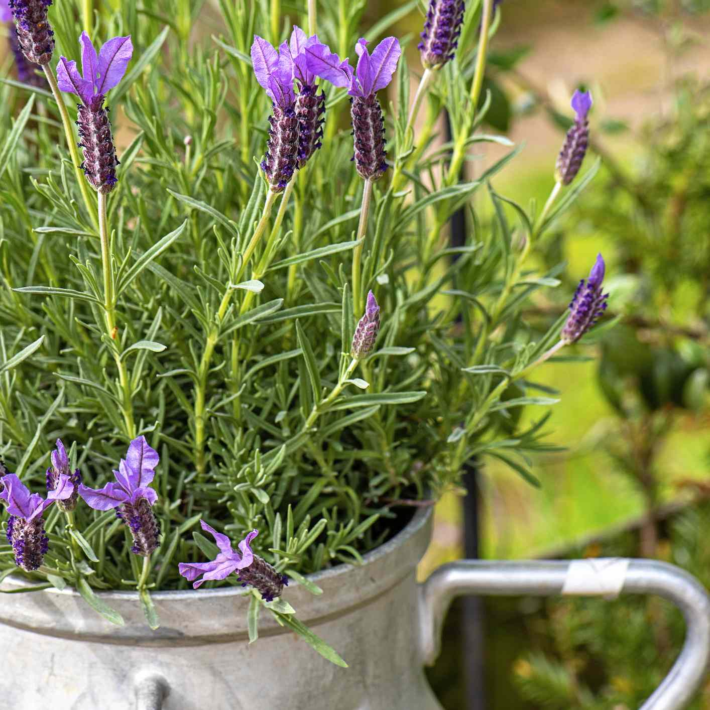 French lavender growing in a metal pot in a garden