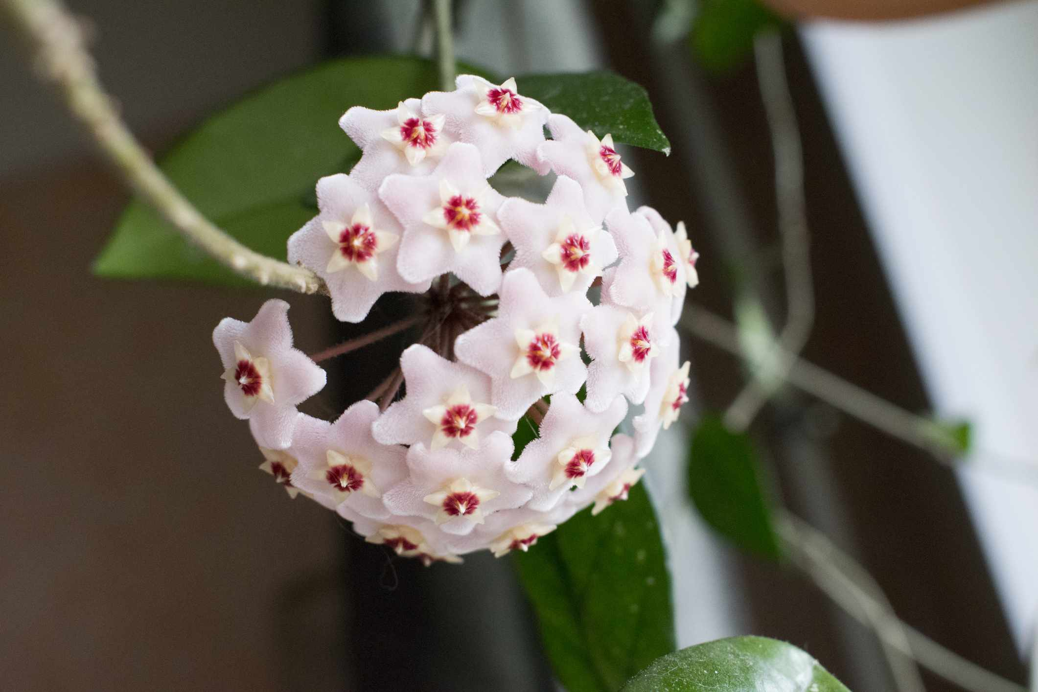 Close-up detail photo of flower wax plant or Hoya Carnosa.