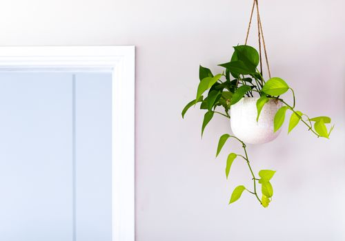 English ivy in a hanging white pot