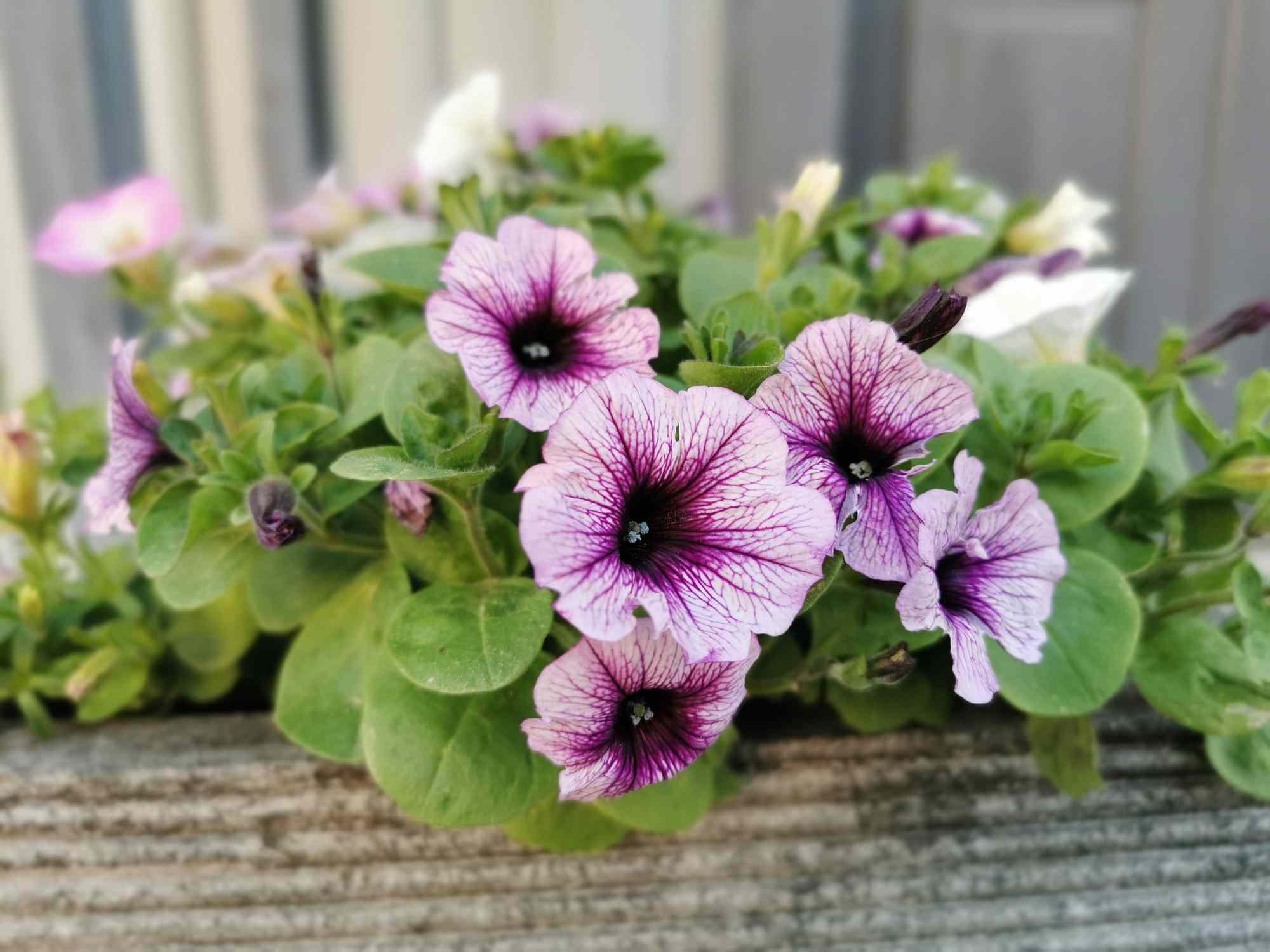 Petunia flowers in window box.