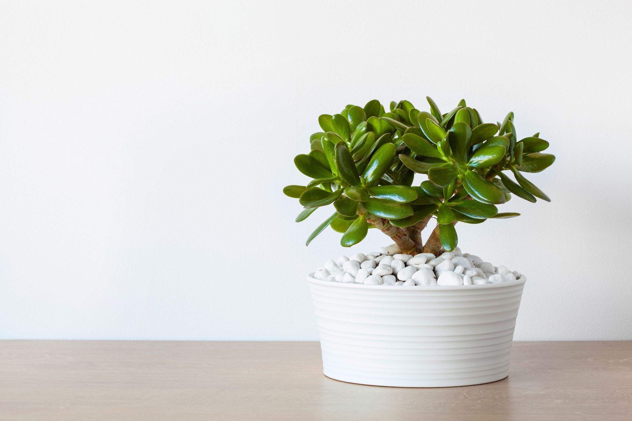 Jade Plant Care Growing Guide