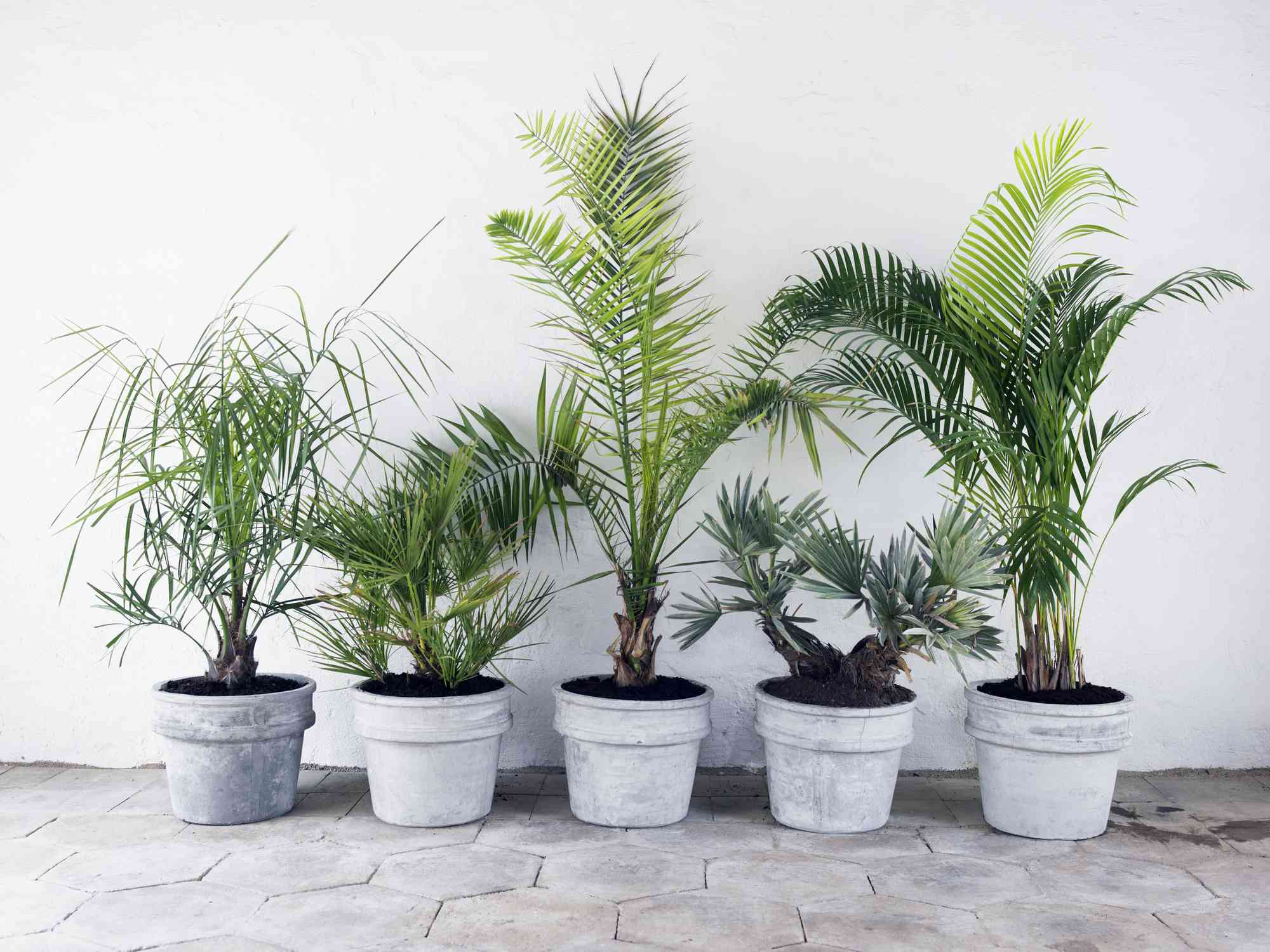 How to Care for (and Propagate) Your Parlor Palm