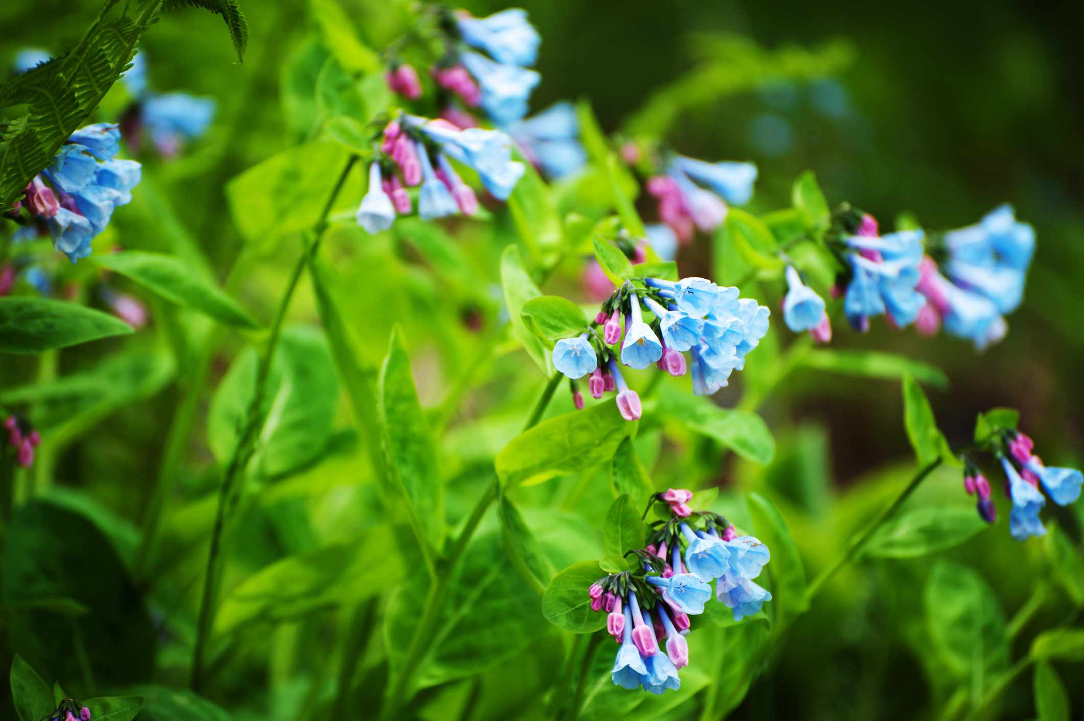 pink and blue Virginia bluebell flowers with green stems and leaves