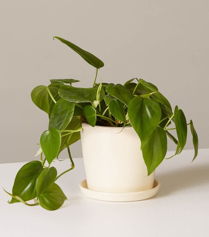 The Sill Philodendron Green in August Planter