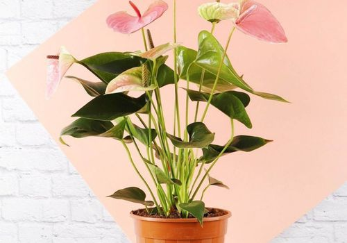 pink anthurium houseplant in orange pot in front of pink and white background
