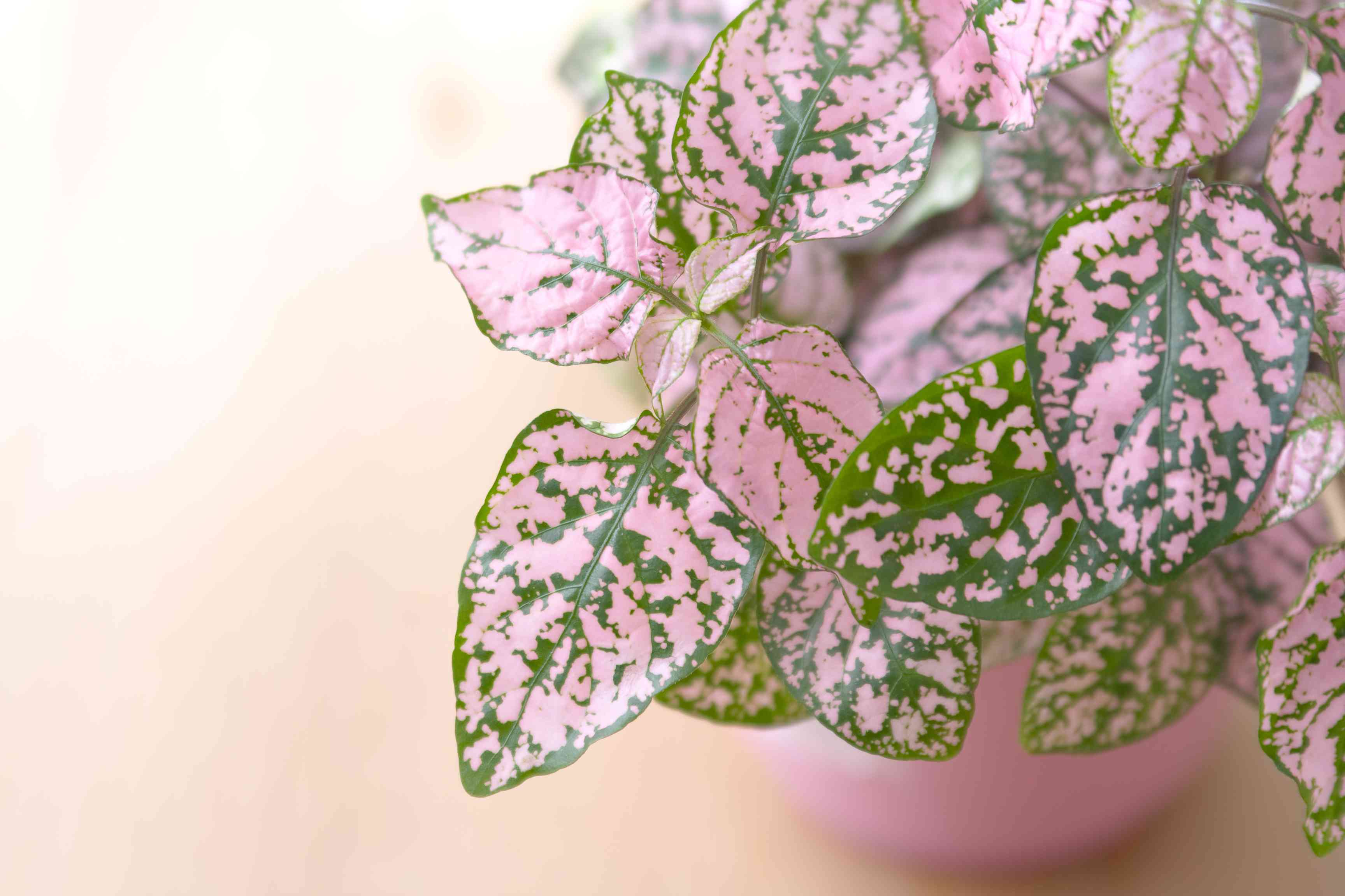 Polka dot plant close up in a pink pot