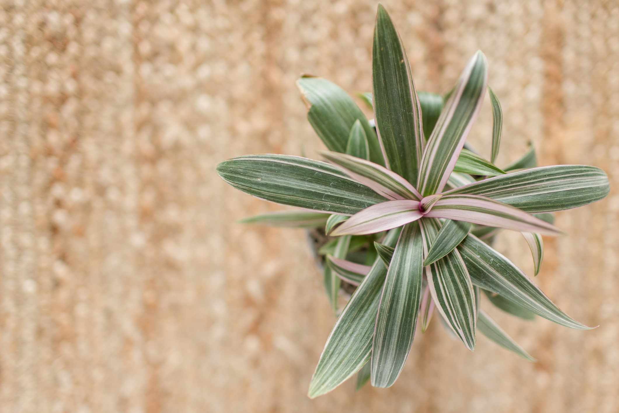 tradescantia 'red hill' houseplant from top against tan background