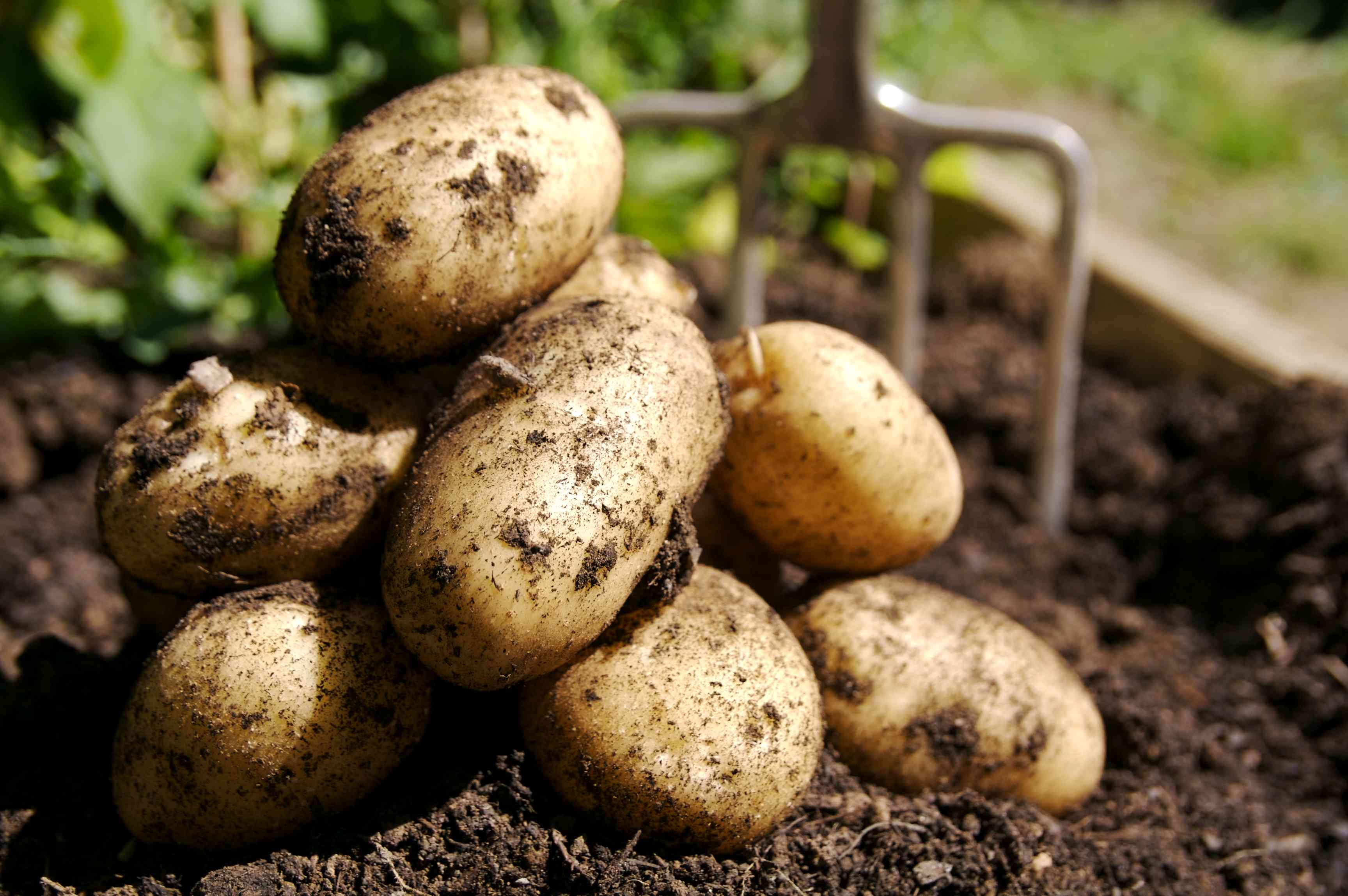 freshly dug white potatoes on soil with pitchfork in background