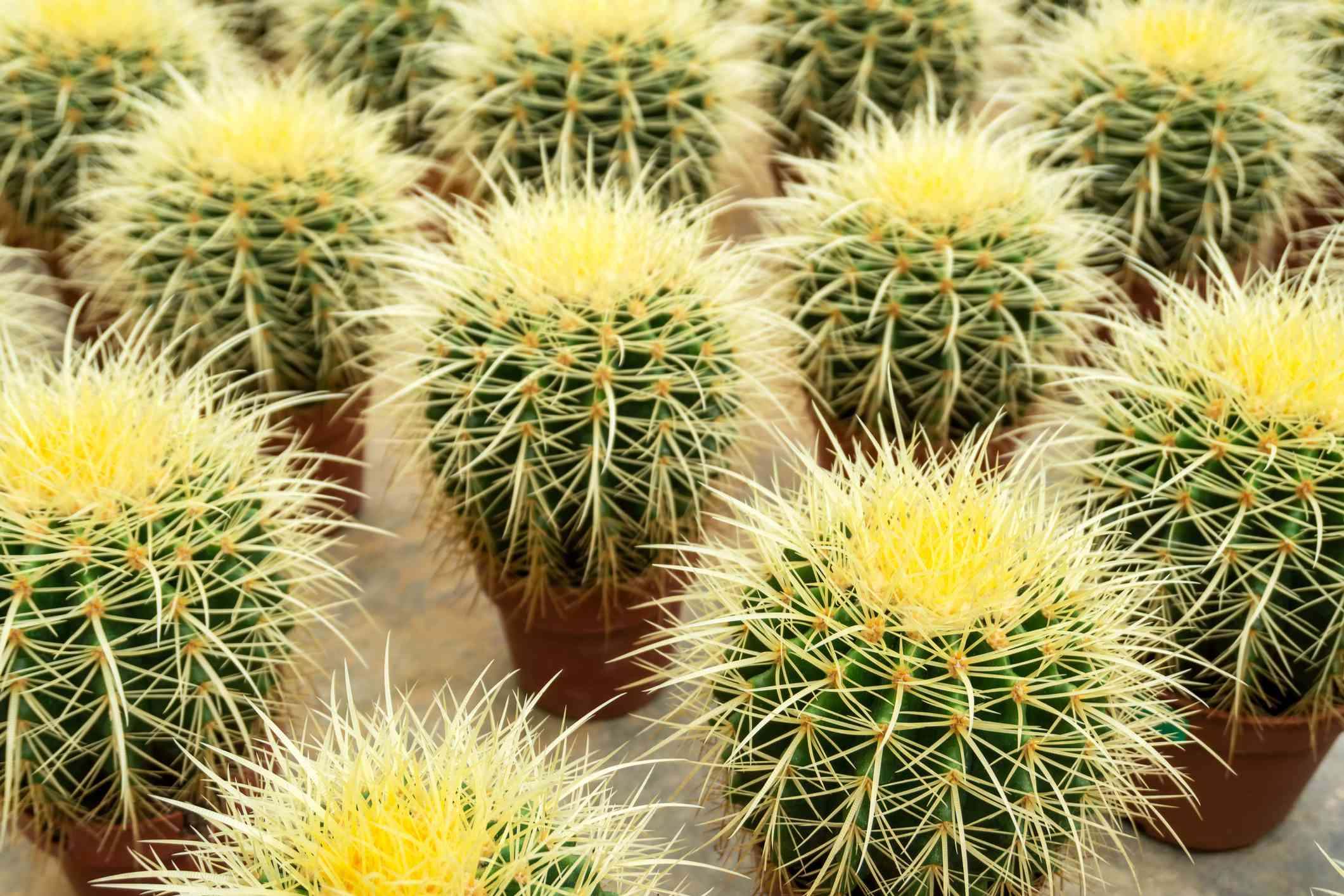 many small golden barrel cactus plants in pots with yellow spines and green flesh