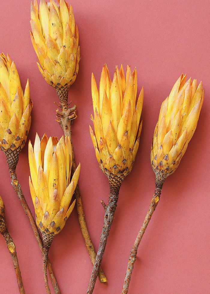 AFloral Natural Protea Repens Pods in Yellow