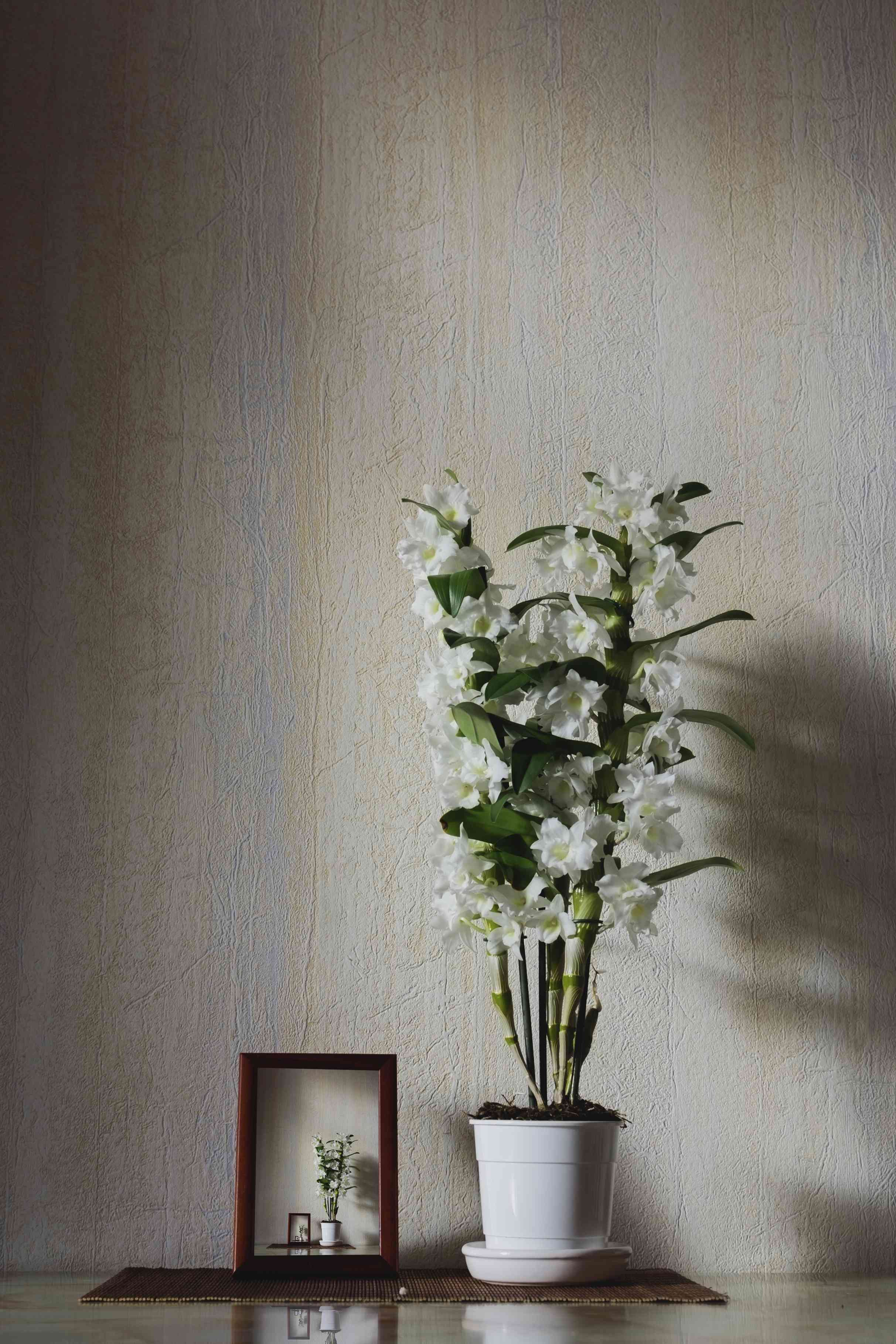 A dendrobium orchid with white flowers in front of beige wall