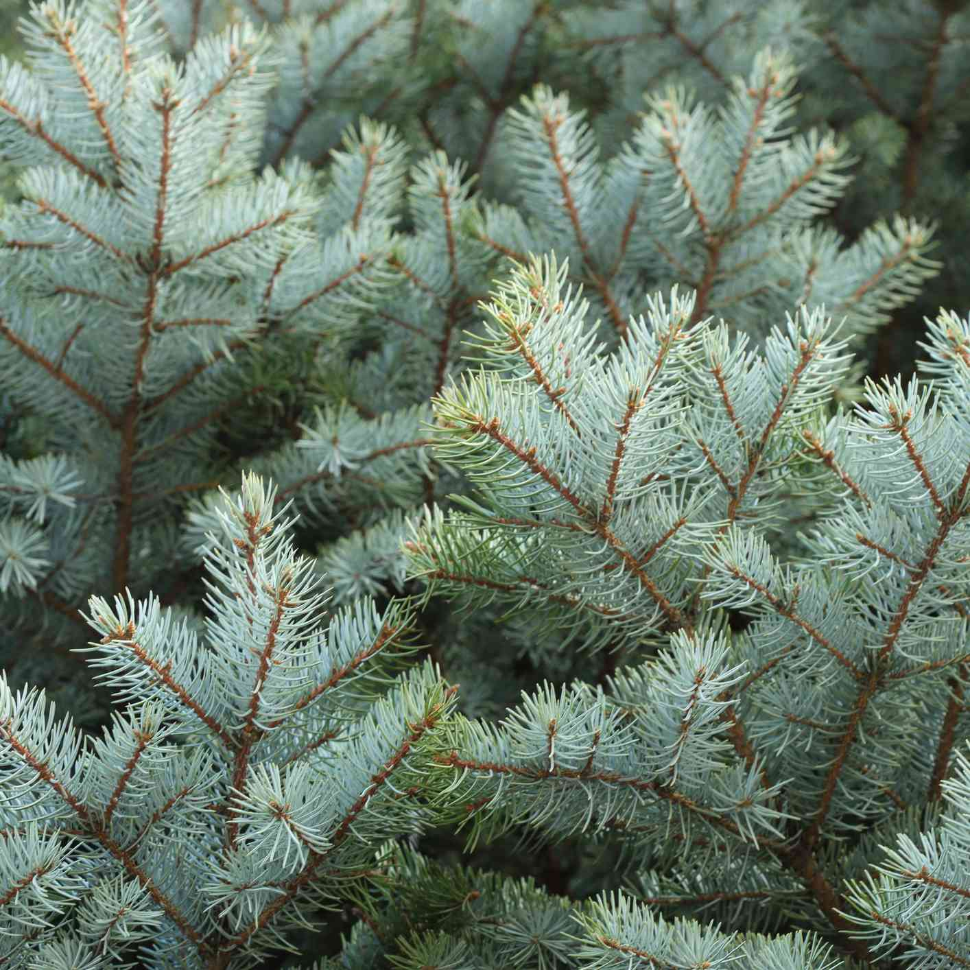 closeup of blue-green blue spruce tree branches