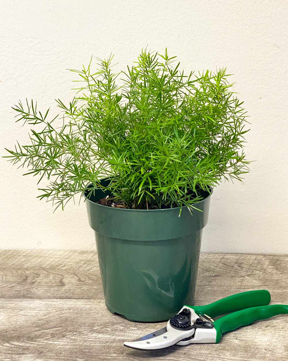 Small asparagus fern in a pot next to clippers