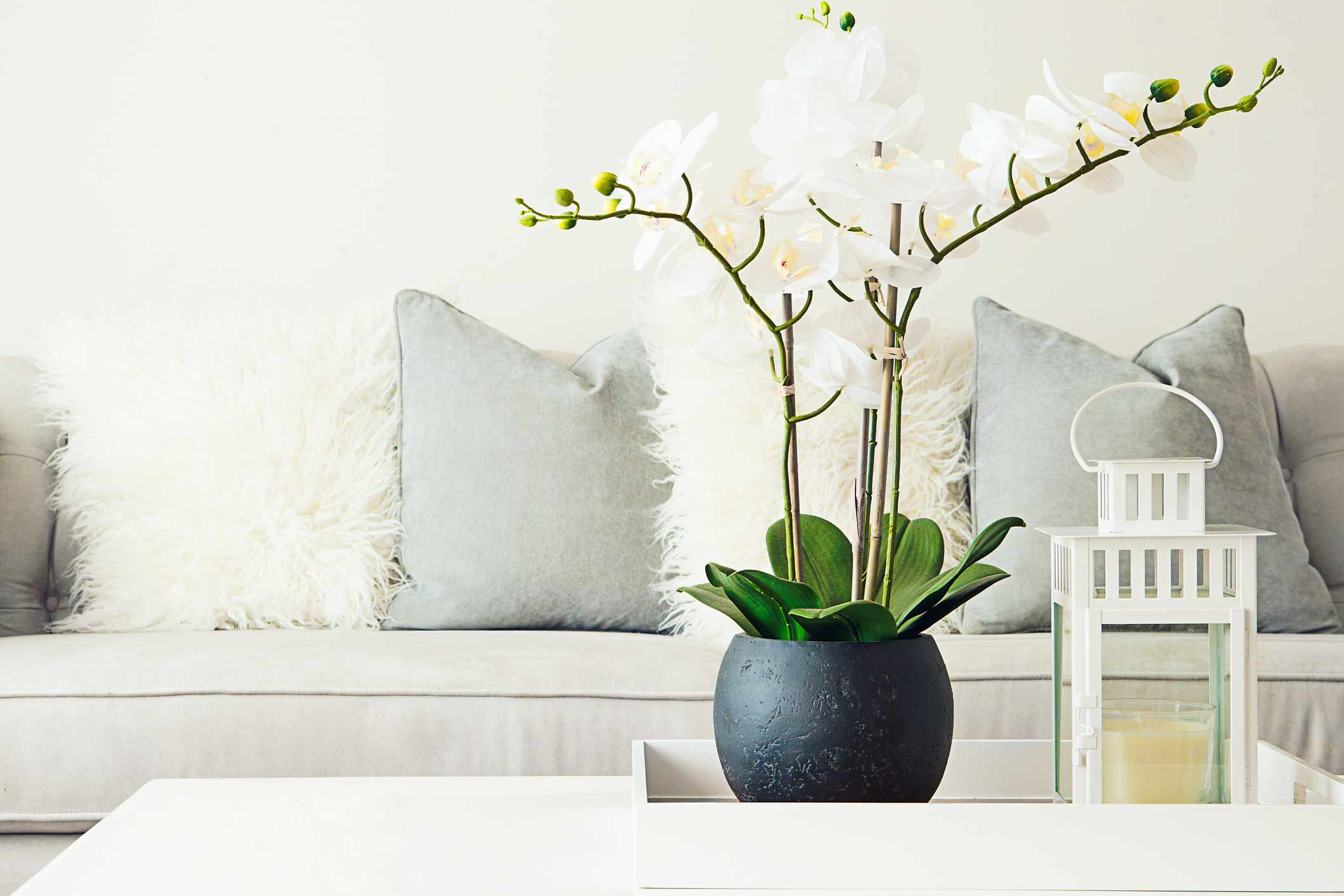 A white orchid on a coffee table in front of a white couch