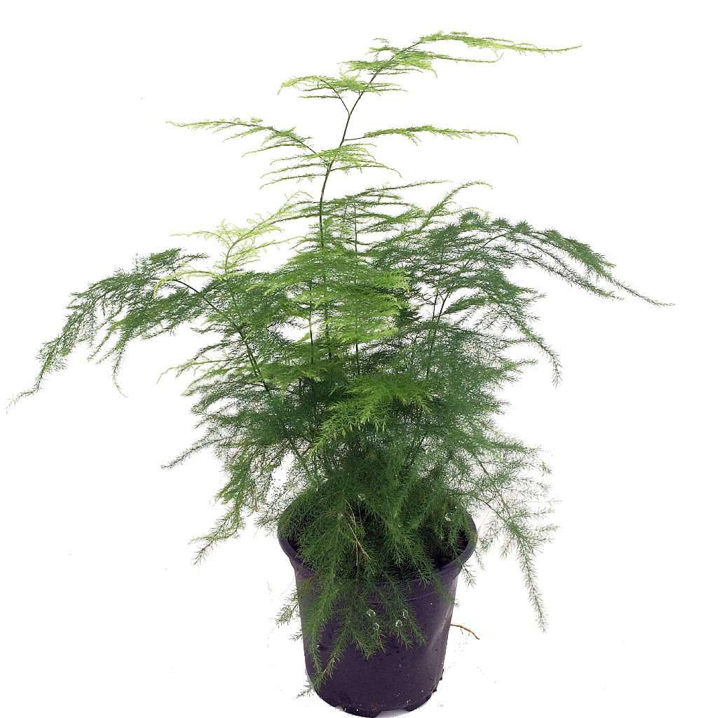 Asparagus fern in grower's pot