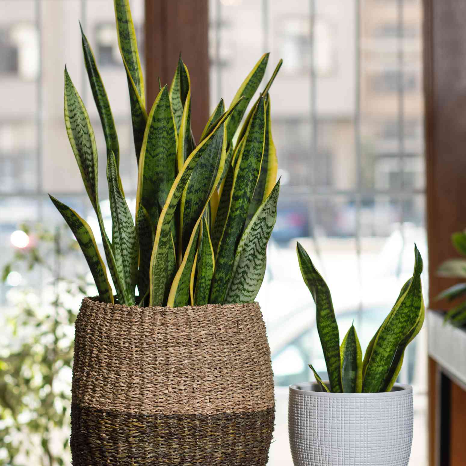 A large snake plant in a basket and a small one in a pot