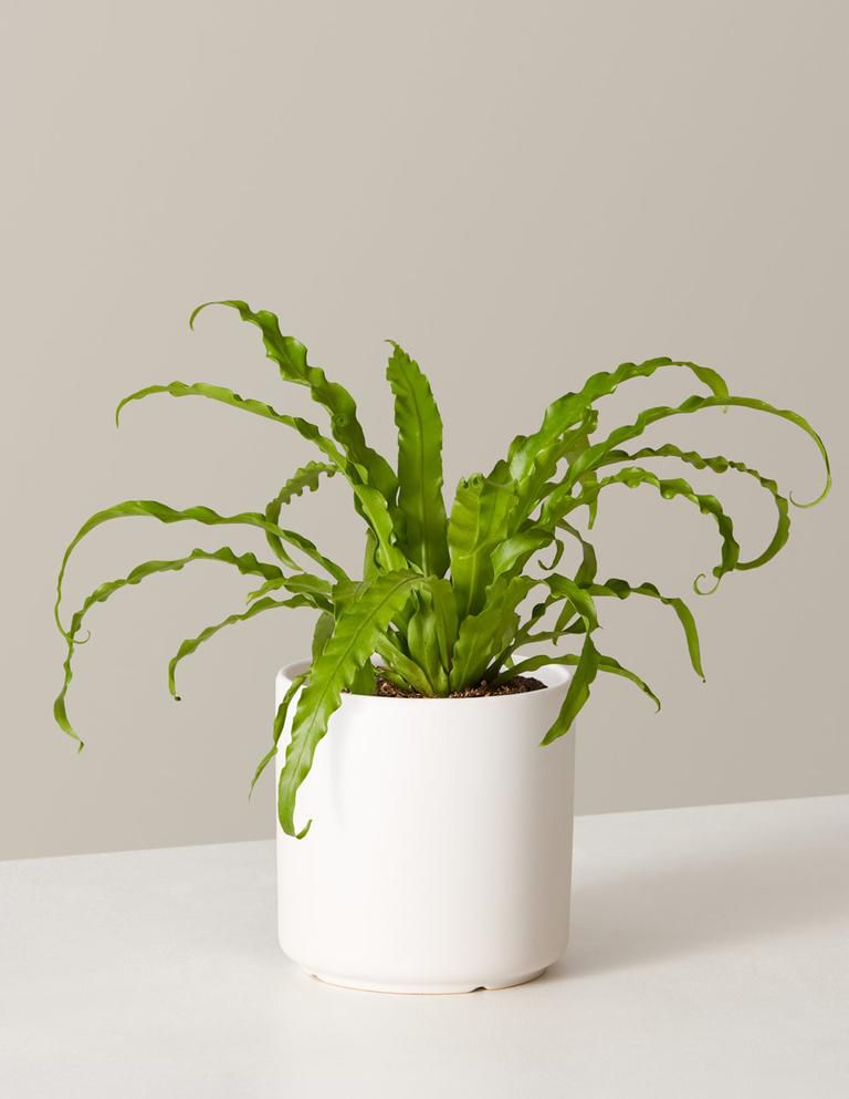 Bird's nest fern in a white ceramic pot