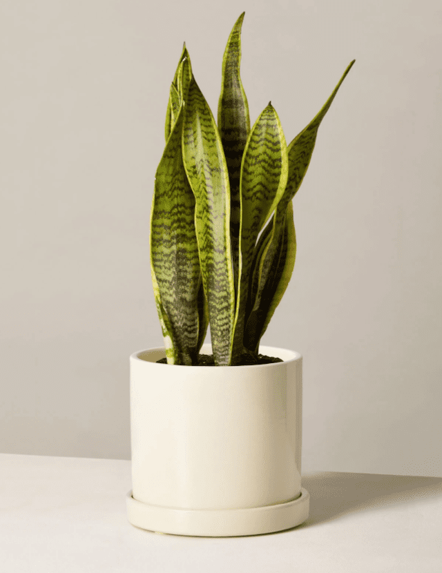 Snake Plant Laurentii