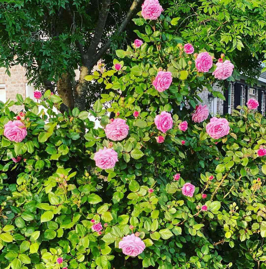 Bright magenta rose bush.