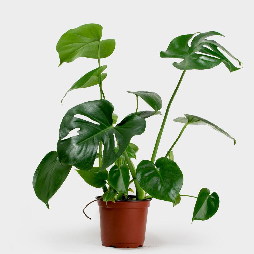 Monstera deliciosa in a red grower's pot