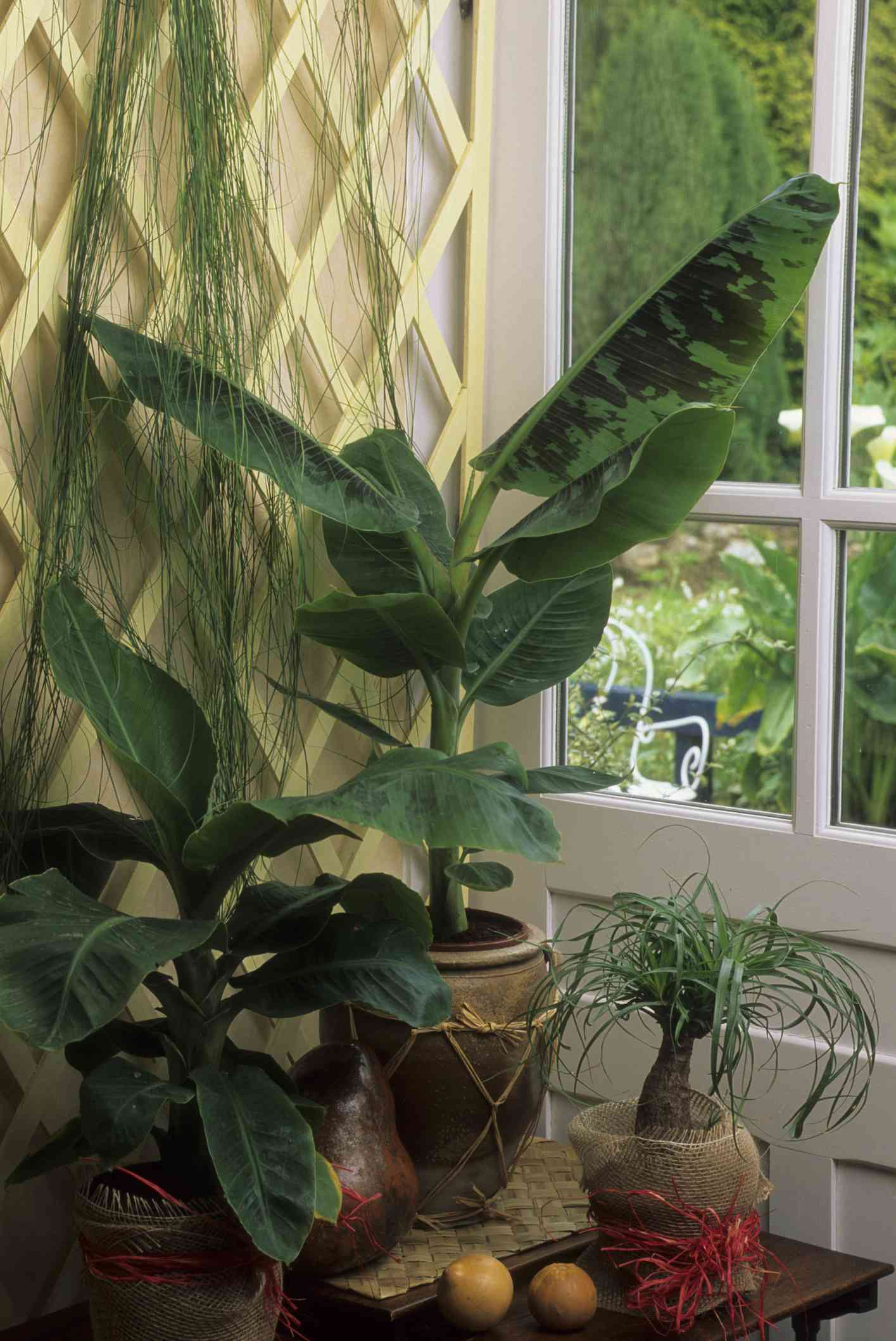 banana leaf plant in pot near window with other houseplants