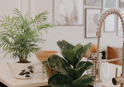 puntas de cadena de perlas - riego de plantas de perlas en el fregadero