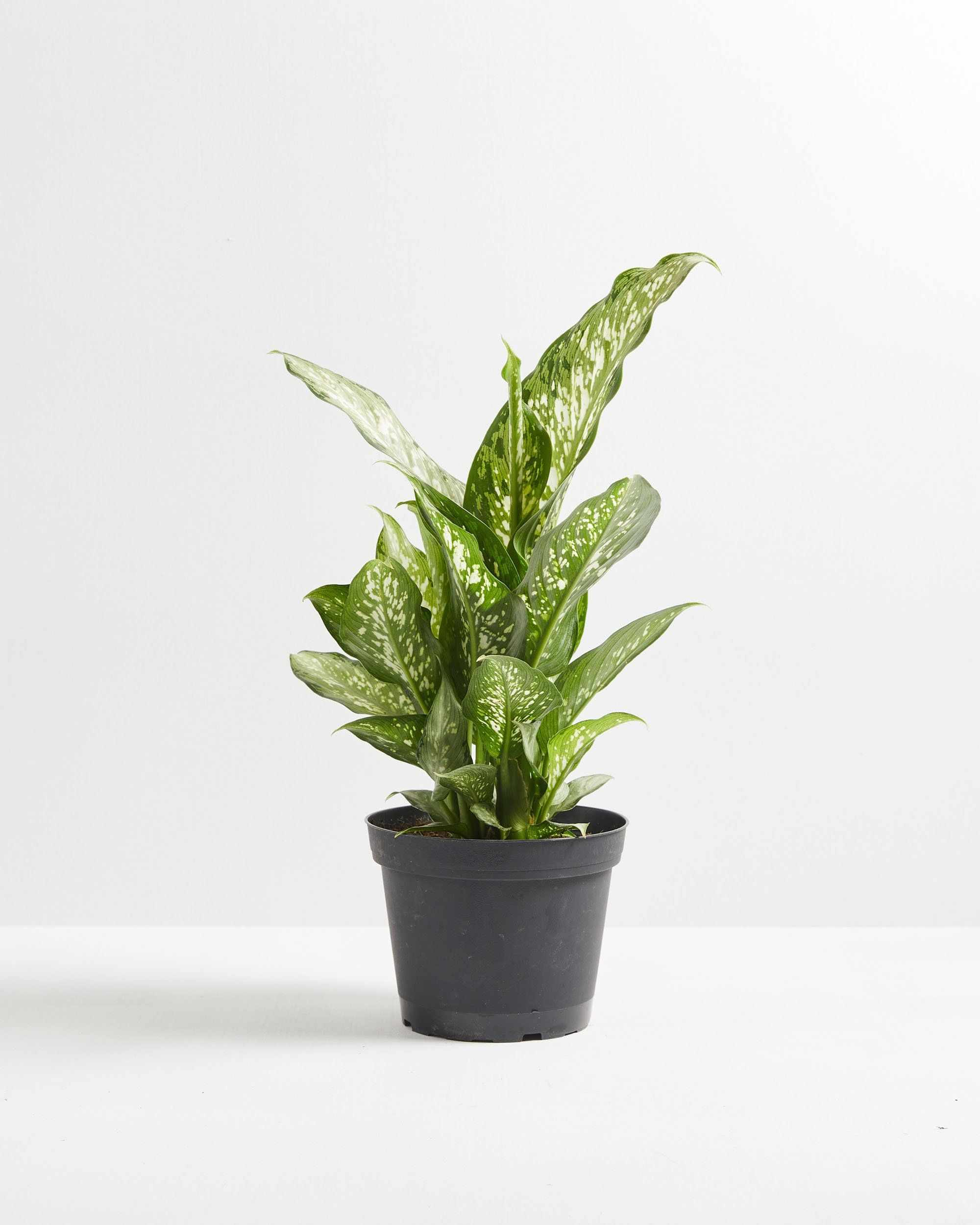 Dumb cane plant in grower's pot