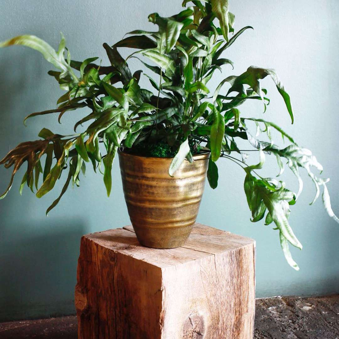 kangaroo paw fern in ceramic pot on wood block against light blue wall