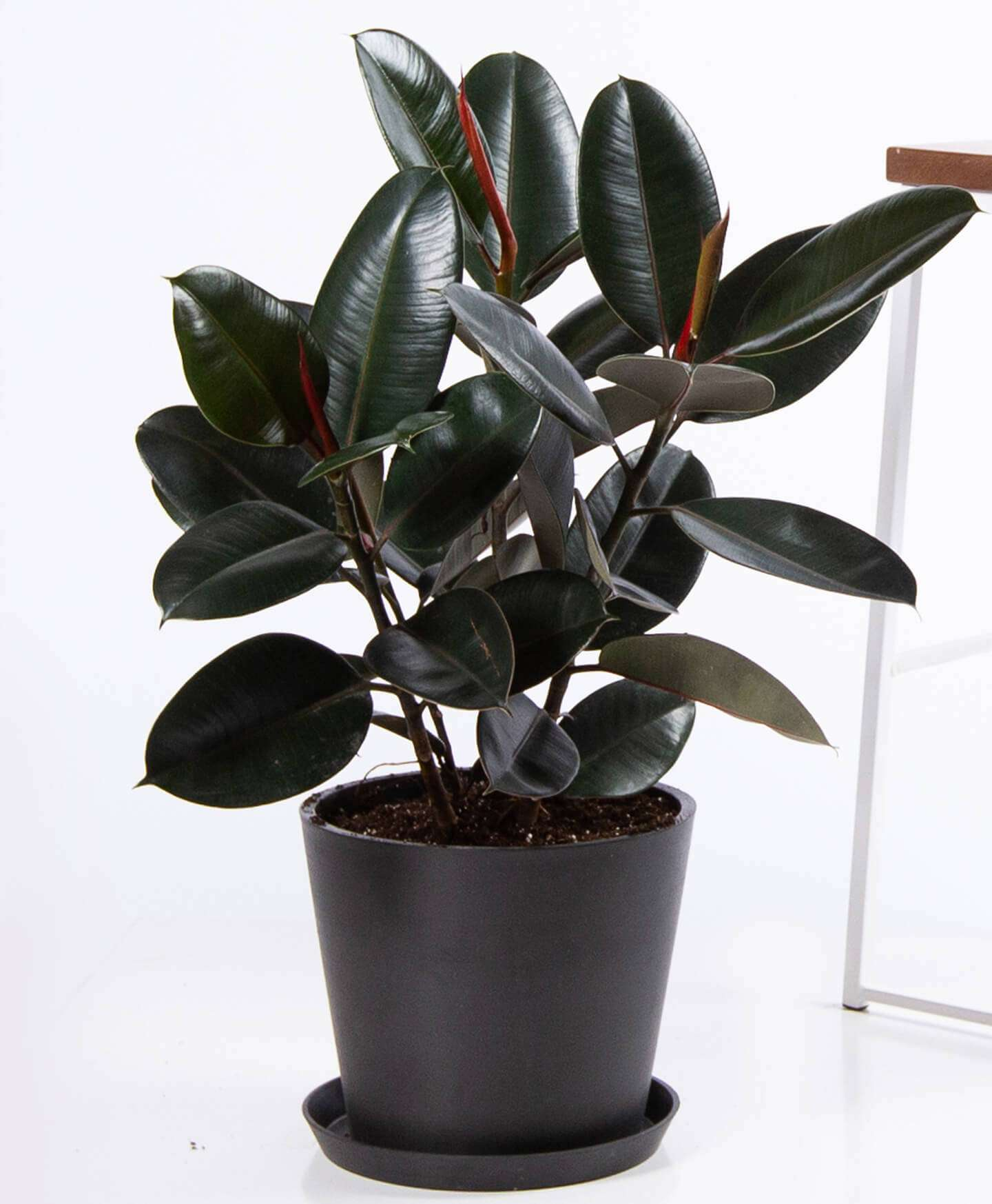 A potted rubber tree in a charcoal terracotta pot.