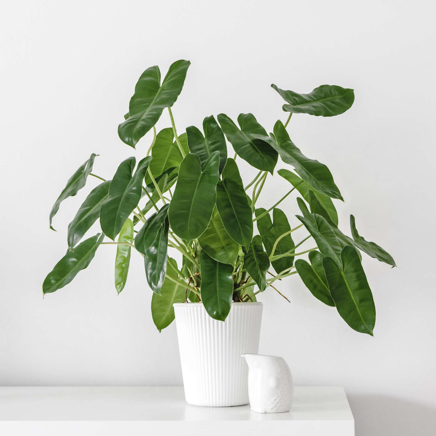 philodendron burle marx in white pot against white wall
