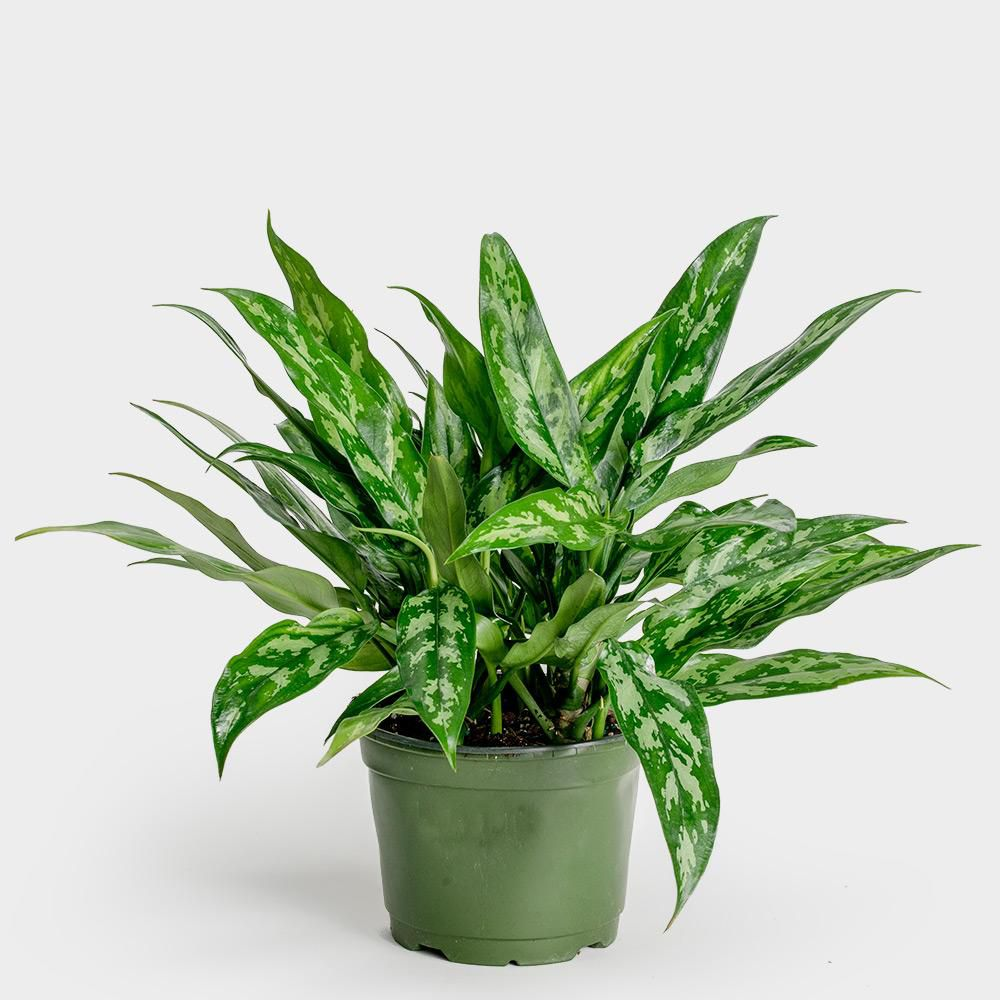 Chinese evergreen in a green grower's pot