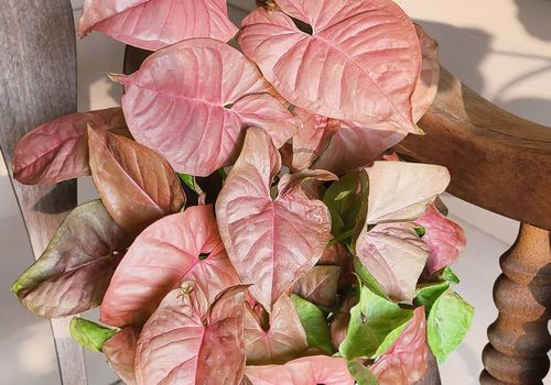 pink arrowhead plant in white pot on wooden chair