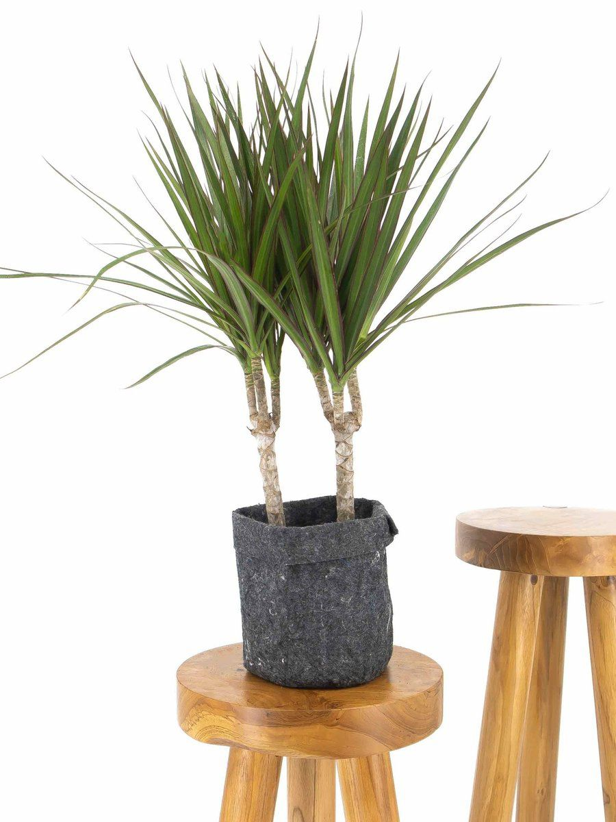 Dragon tree in a fabric pouch on a wood stool