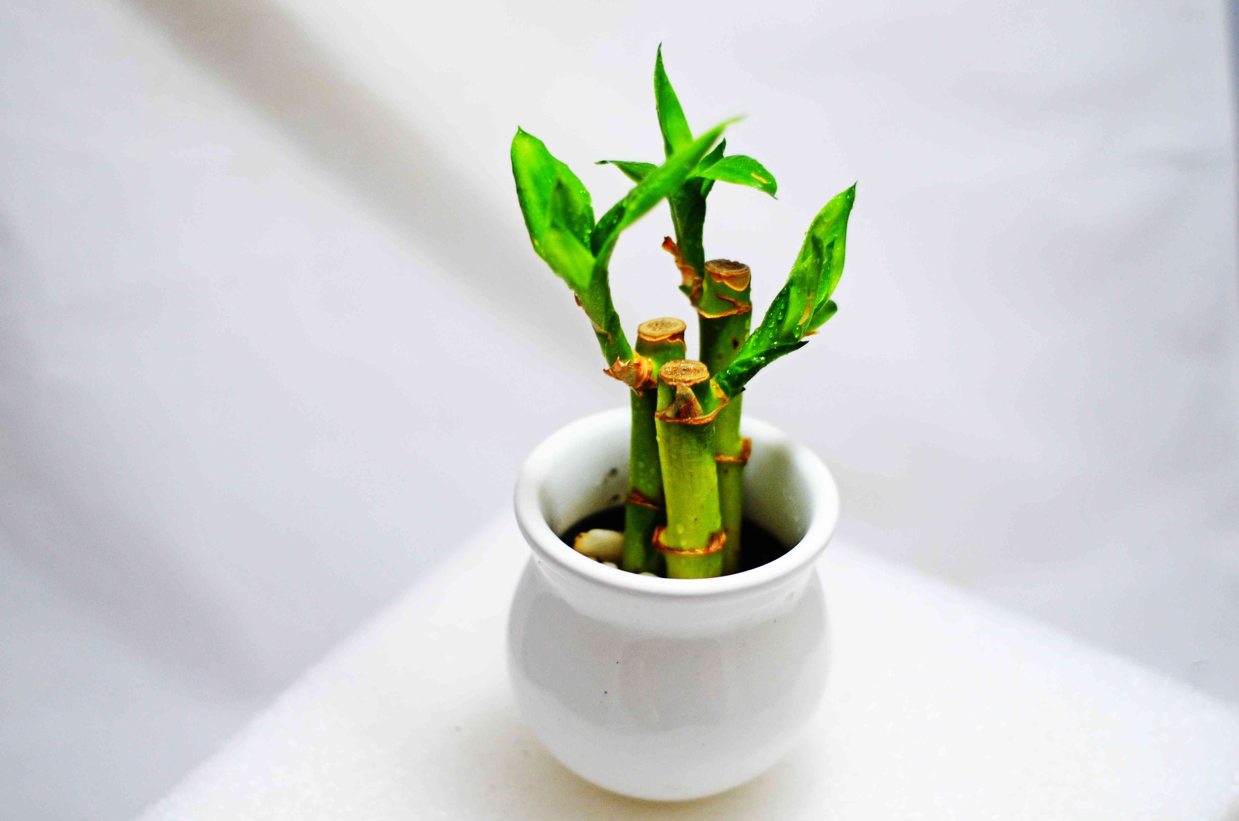 Lucky bamboo on a white table