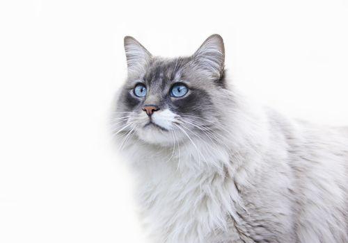 Ragdogg Cat with Blue Eyes profile shot on white backgrond
