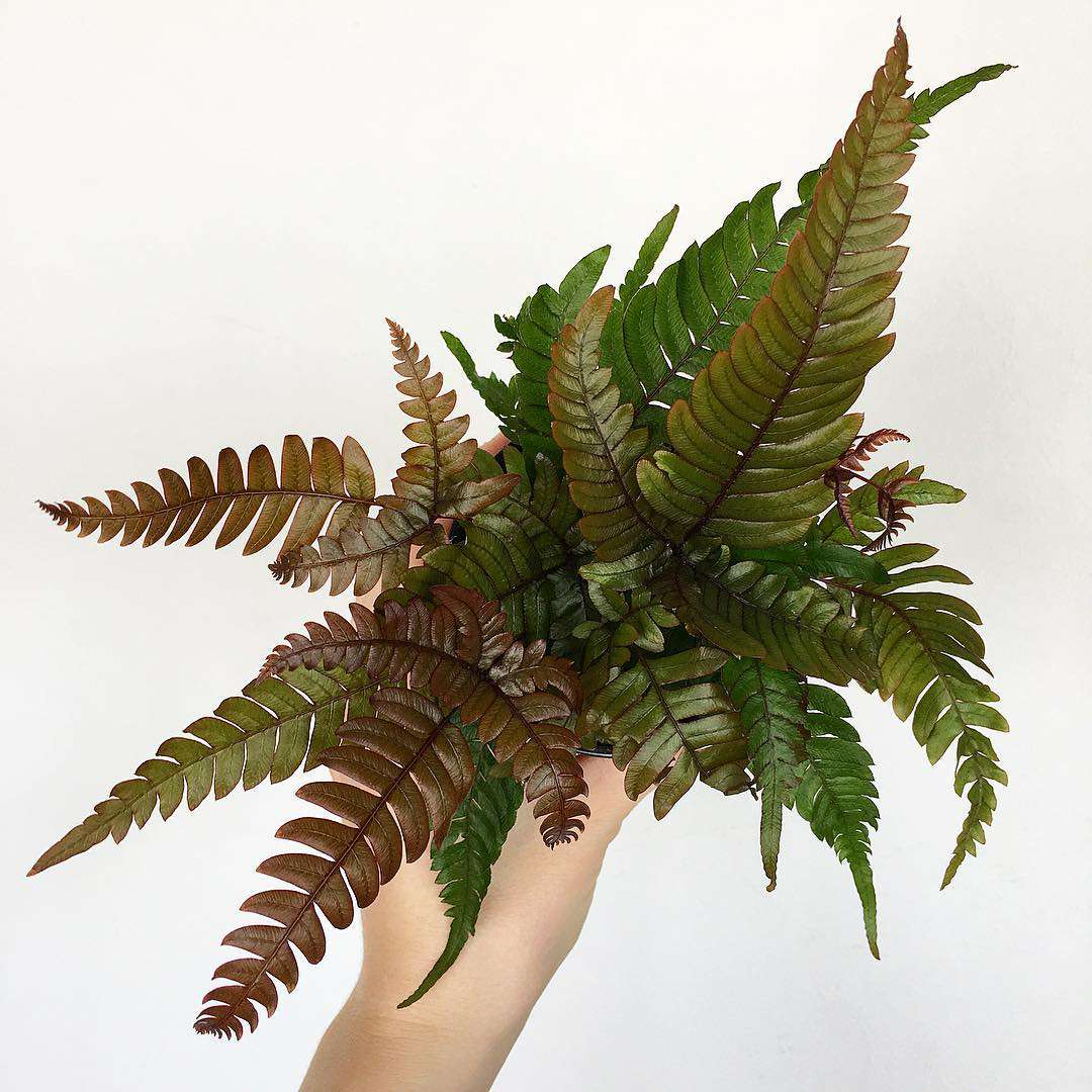 red and green tricolor fern held up by arm with light skin tone in front of white background