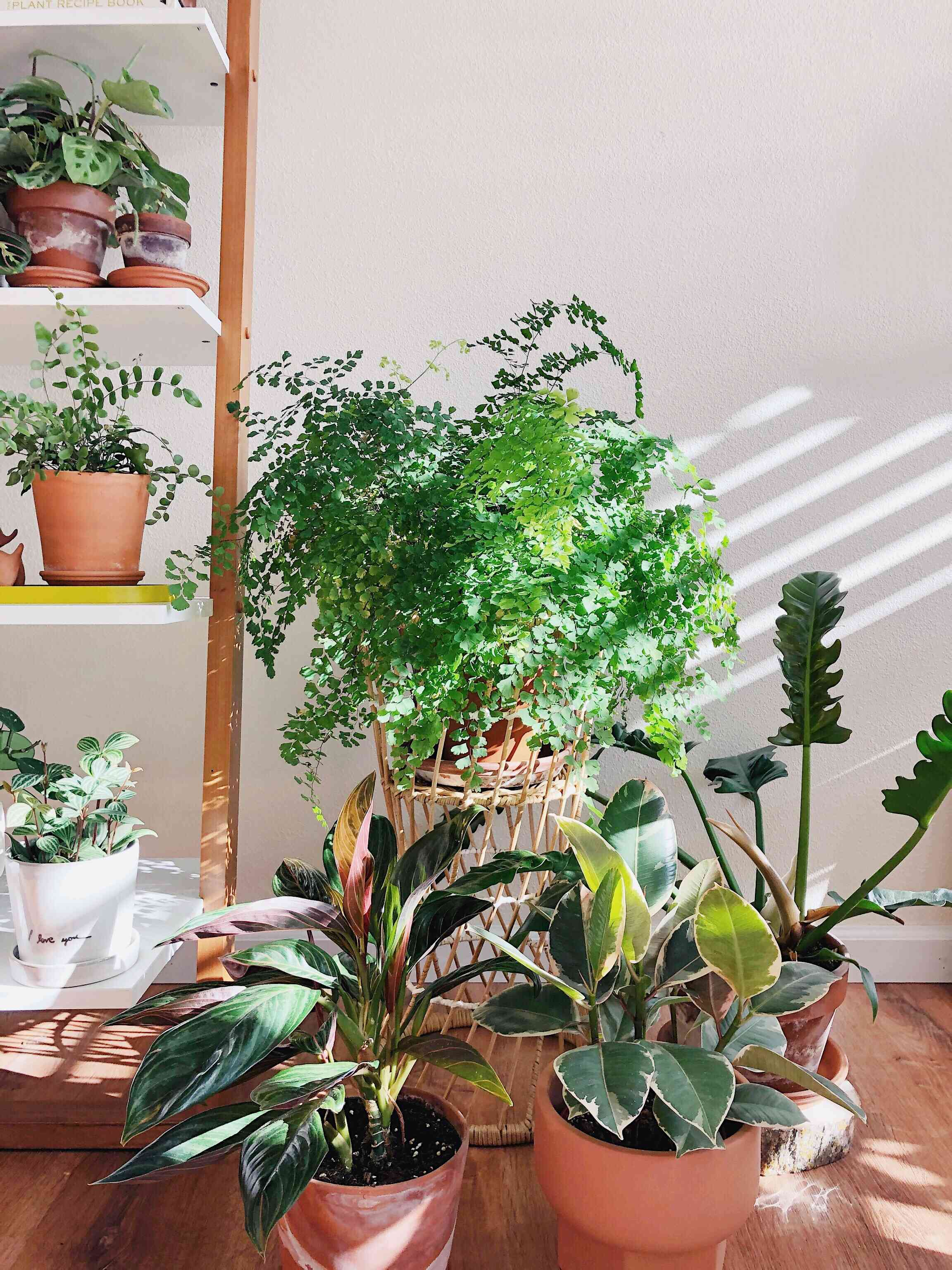 sun shining on maidenhair fern and other houseplants on wood floor against white wall