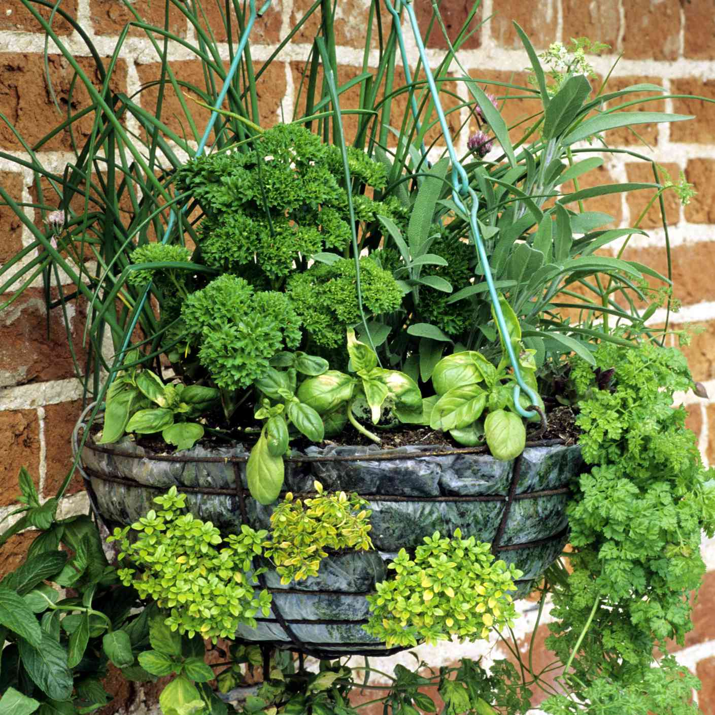 culinary herbs in hanging basket planter against brick wall