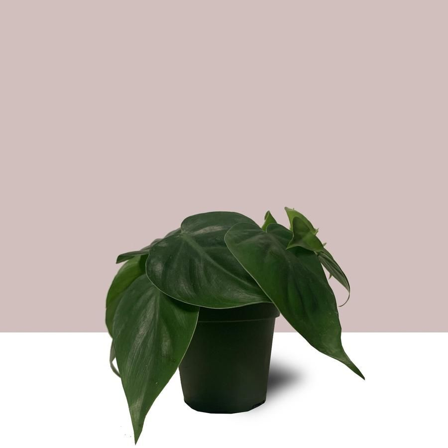 Heartleaf philodendron in a grower's pot