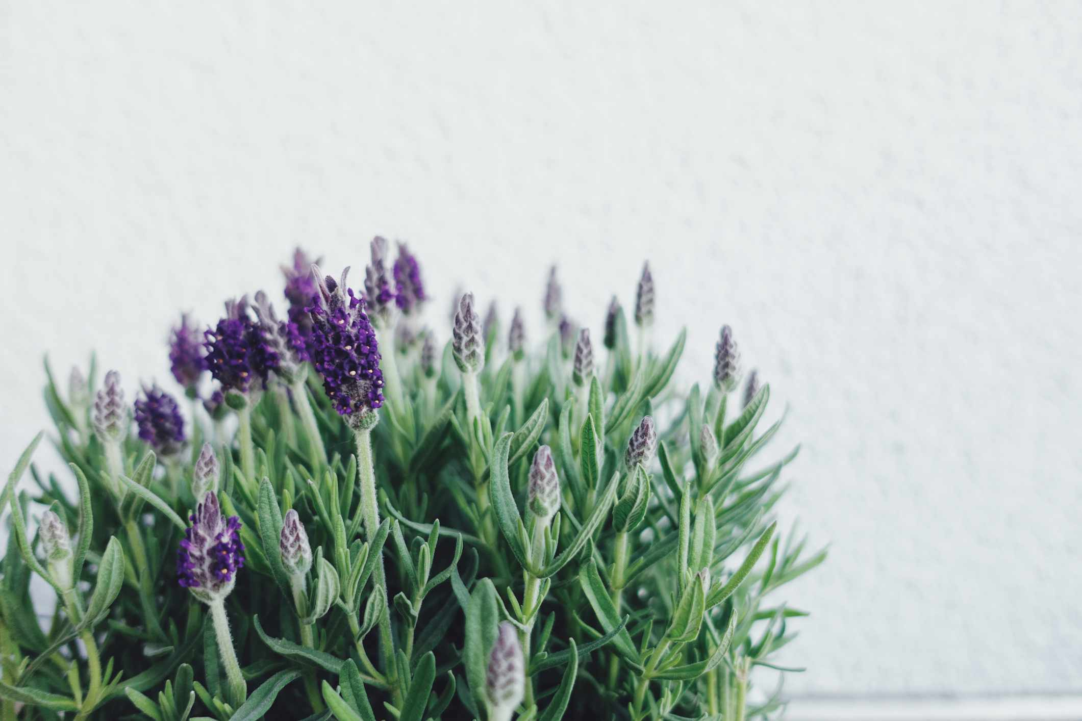 Close up of lavender blooming in a pot against a white wall