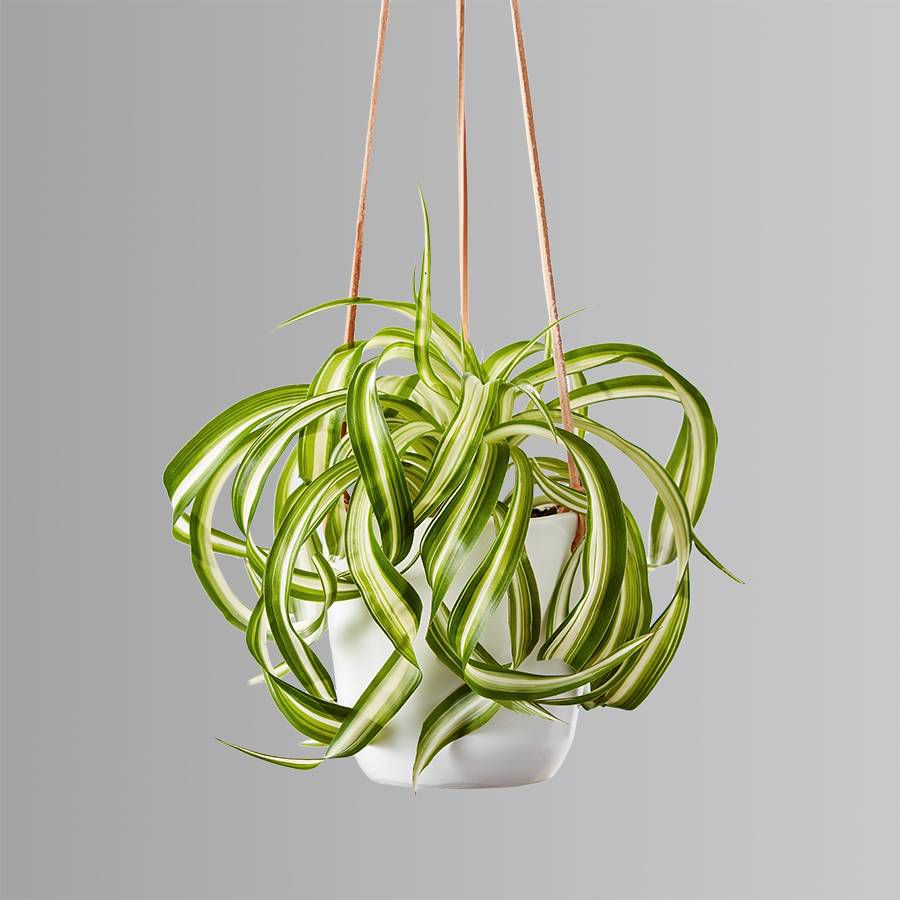 Spider plant in a white hanging planter