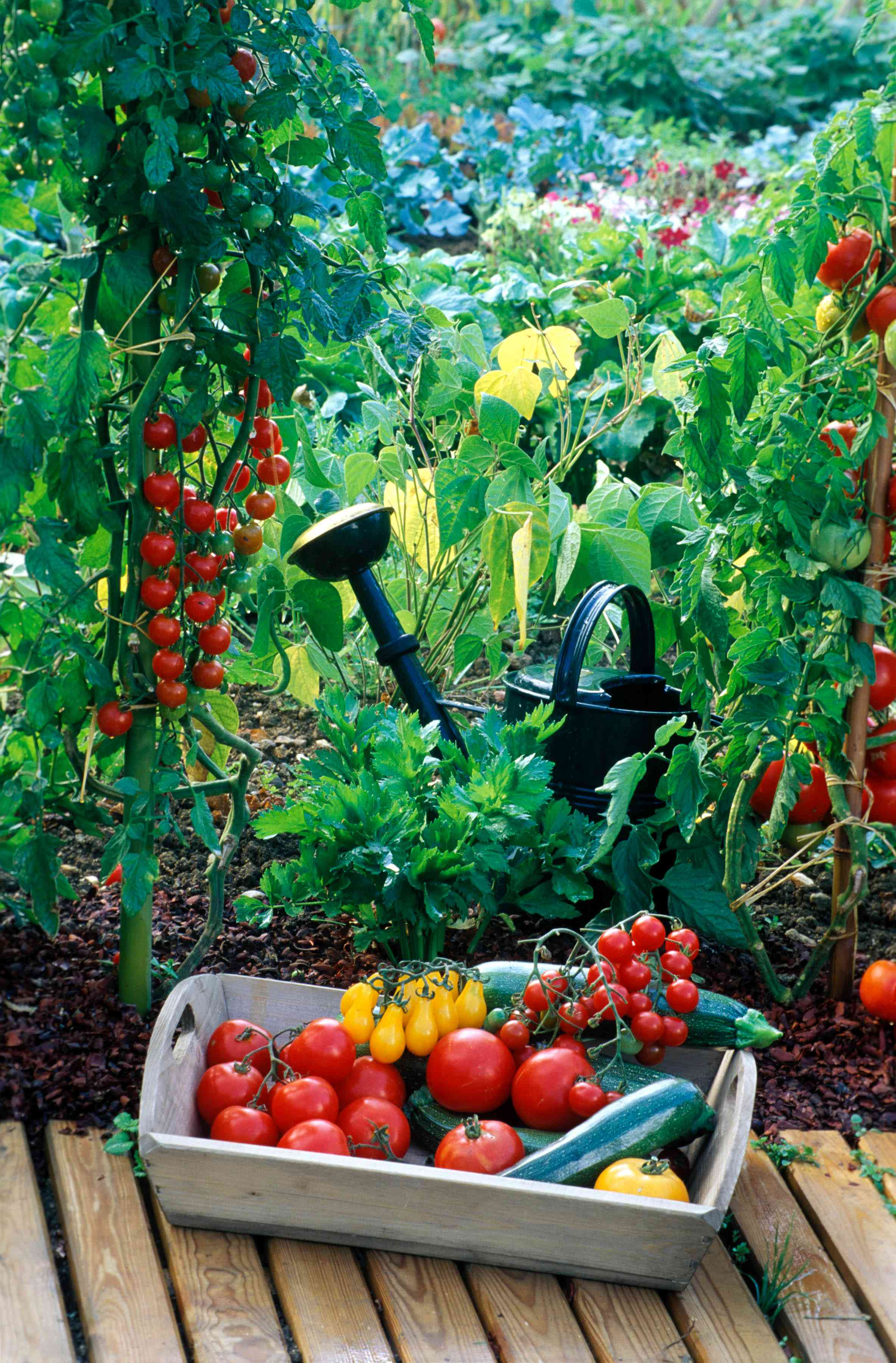 basket of red and yellow tomatoes on patio with garden and watering can in background