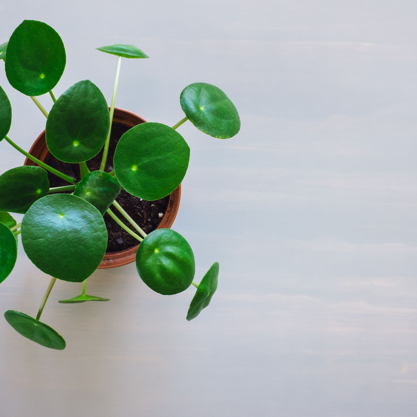 Everything You Need to Know About Pilea Peperomioides