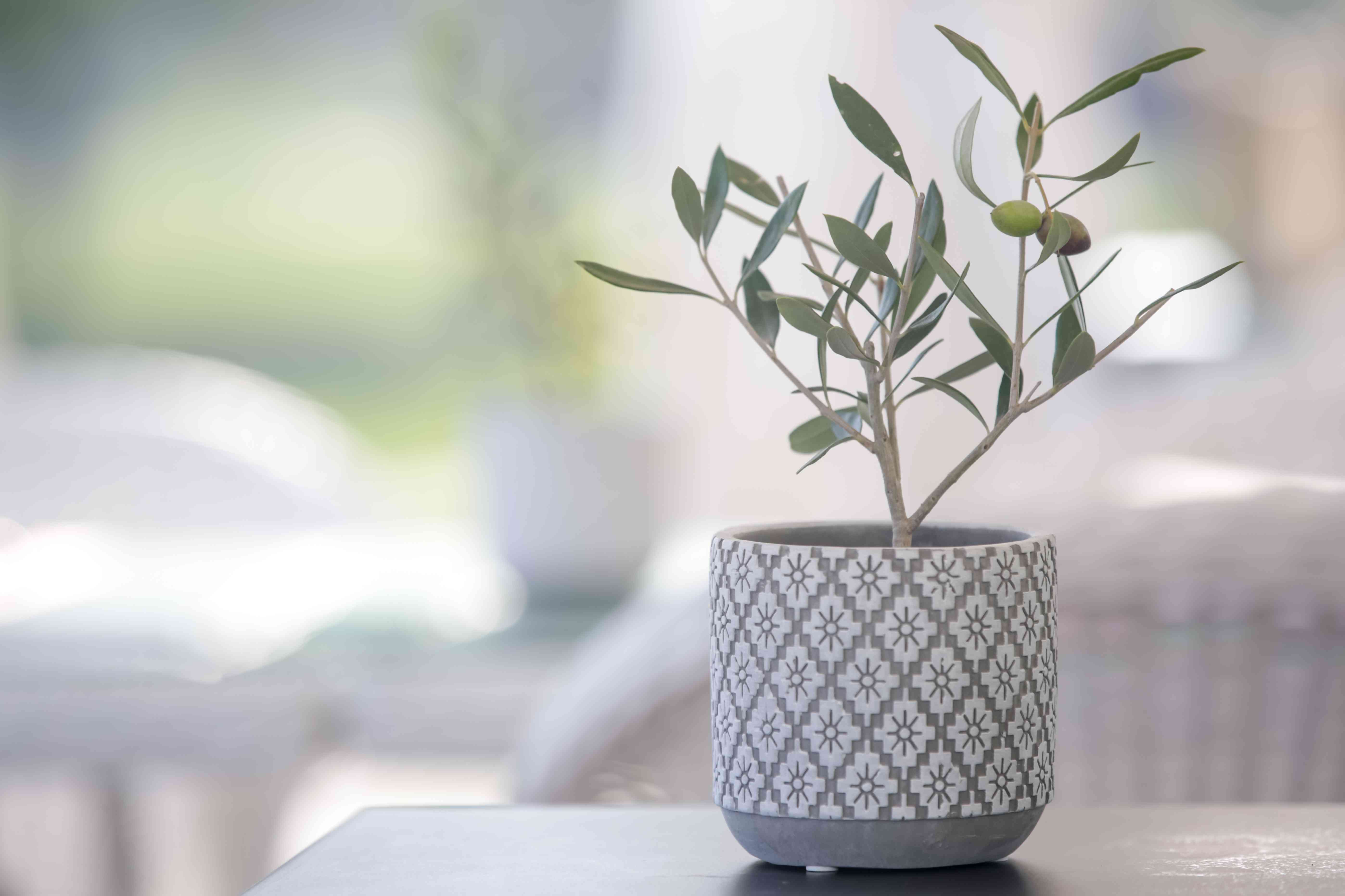 An olive tree in a small pot.