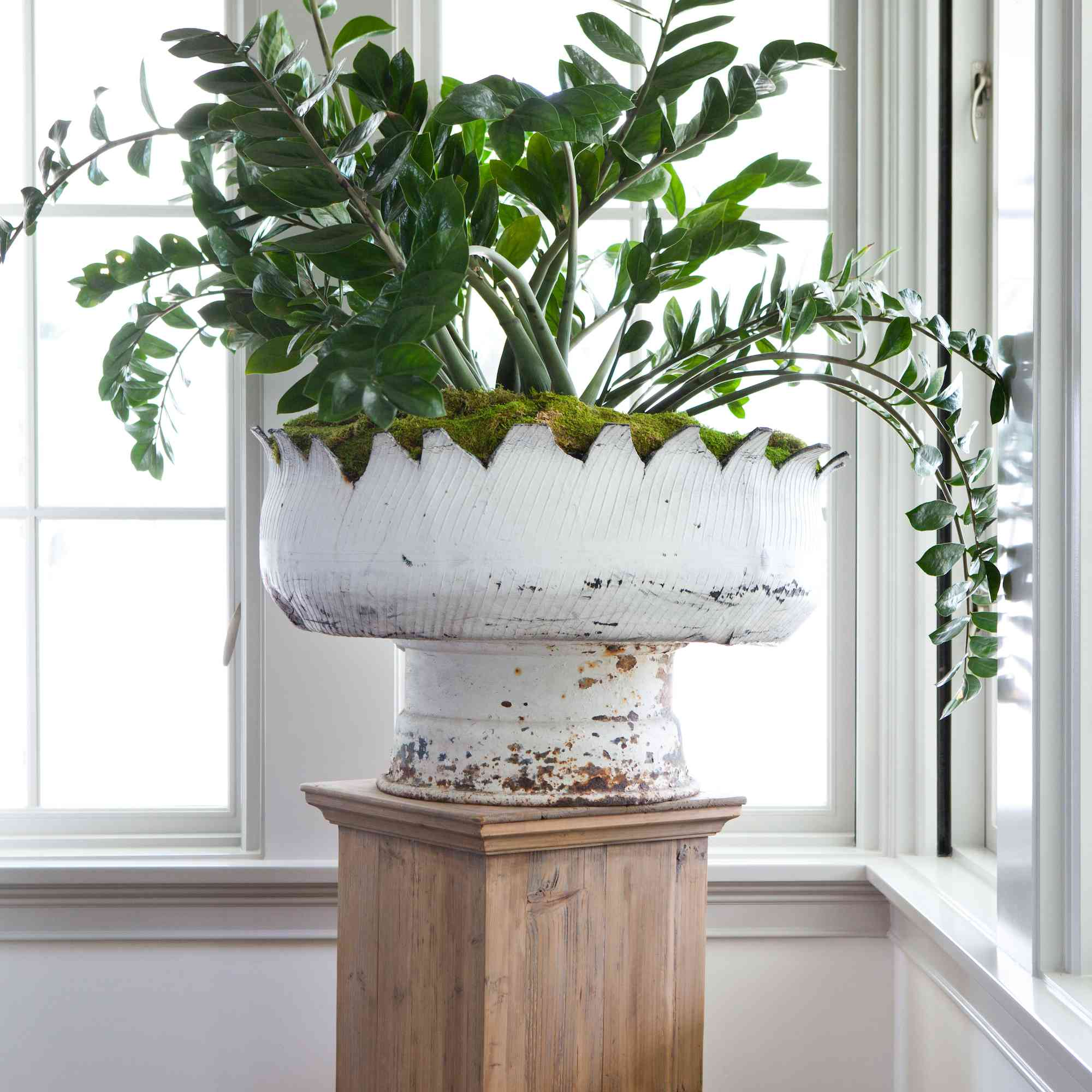 ZZ Plant in large planter.
