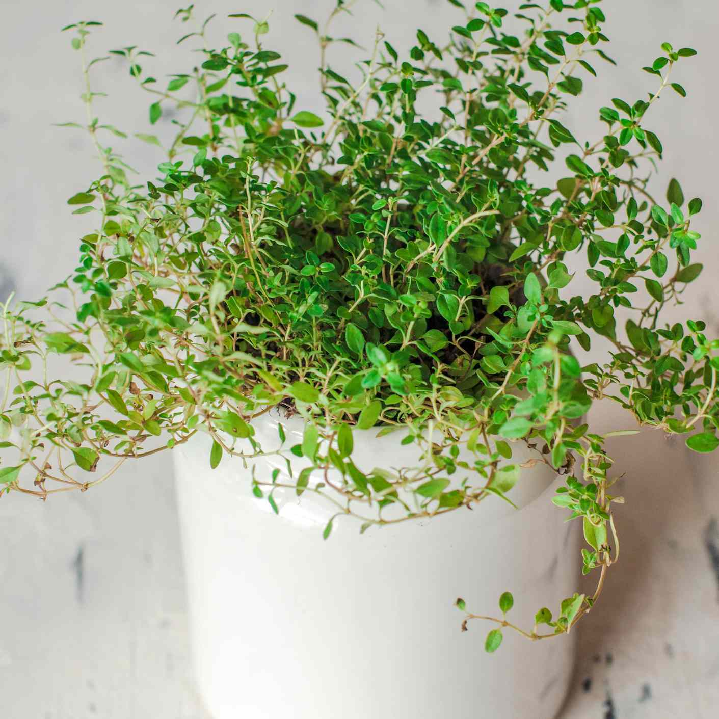 A close up view of thyme plant on a white pot