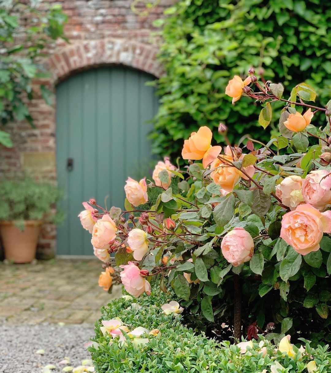 Bright coral rose bush.