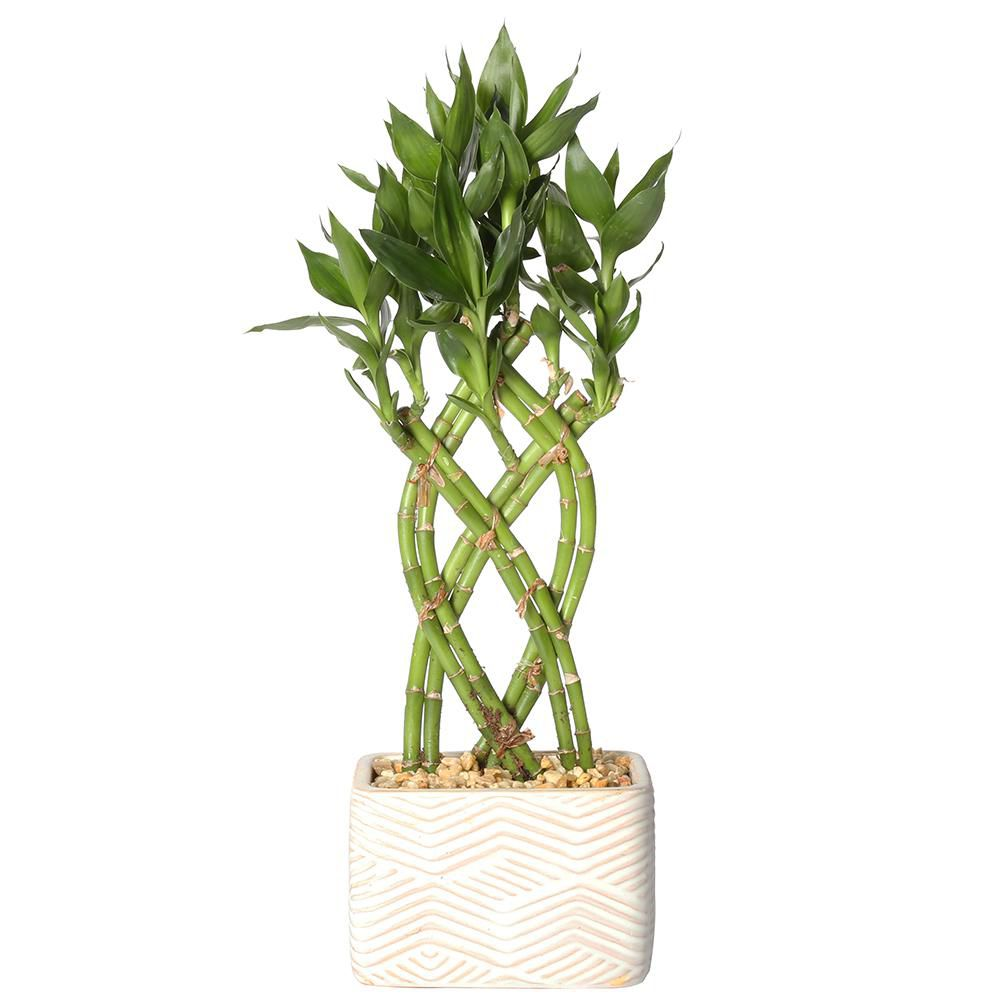 A braided bamboo plant in a white planter with striated lines.